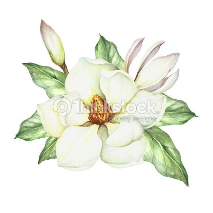 how to draw a magnolia