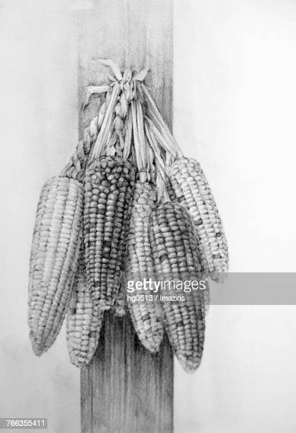 Corn pencil drawing