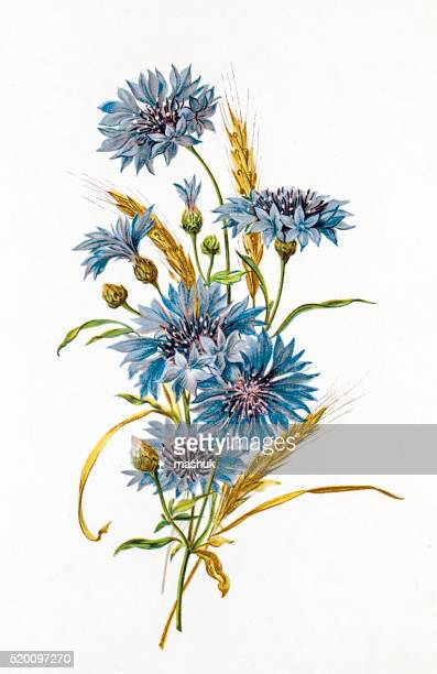 Cornflower and wheat composition 19 century illustration