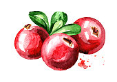 Cranberry composition. Fresh berries with leaves. Hand drawn watercolor illustration, isolated on white background