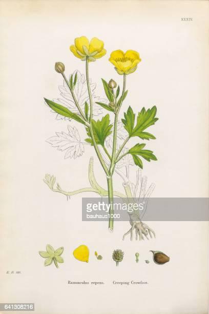 Rampante Crowfoot, repens Ranunculus, Illustration botanique victorienne, 1863