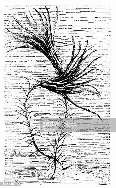 Crinoids ,sea lilies, feather stars ,comatulids
