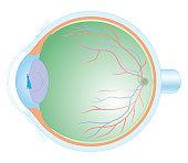 Cross section biomedical illustration of anatomy of human eye