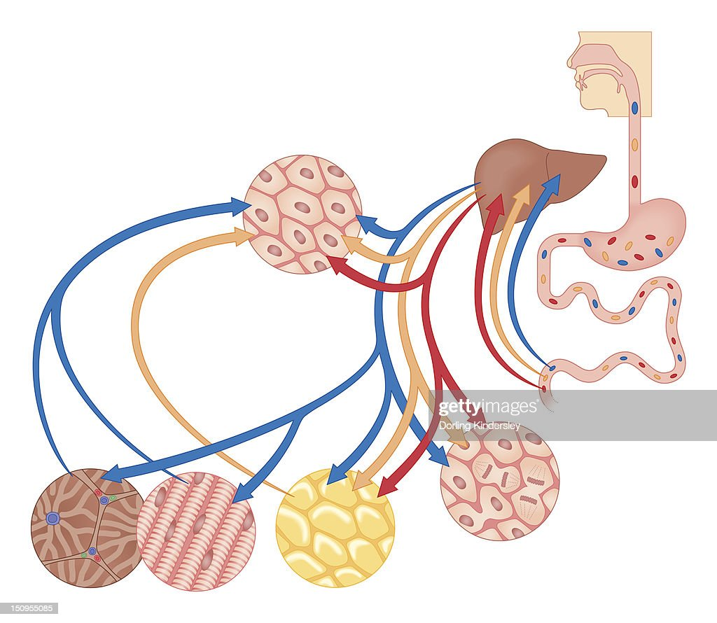 Cross section biomedical illustration of how the body uses food for energy, the liver for digestion, fat storage and glycogen storage : Stock Illustration