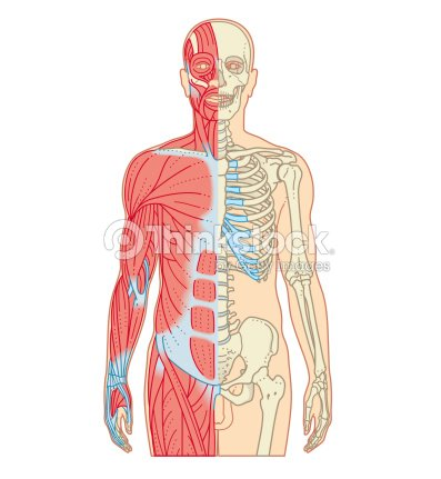 cross section biomedical illustration of musculoskeletal system in