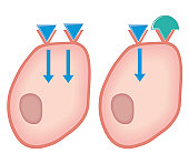 Cross section biomedical illustration of showing how agonist drugs act on receptors - before and after