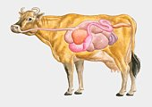 Cross section illustration of cow digestive system