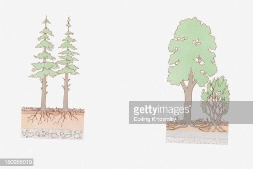 Cross section illustration of deciduous and conifer layering : Stock Illustration