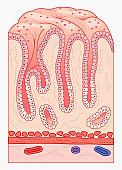 Cross section illustration of human stomach lining and wall with gastric pits containing mucus epithelium and gastric glands
