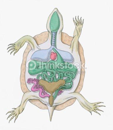 Cross Section Illustration Of Internal Anatomy Of Female Tortoise ...