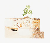Cross section illustration of potato plant growing above soil with roots, insects, mole and ancient bottle in soil strata underground