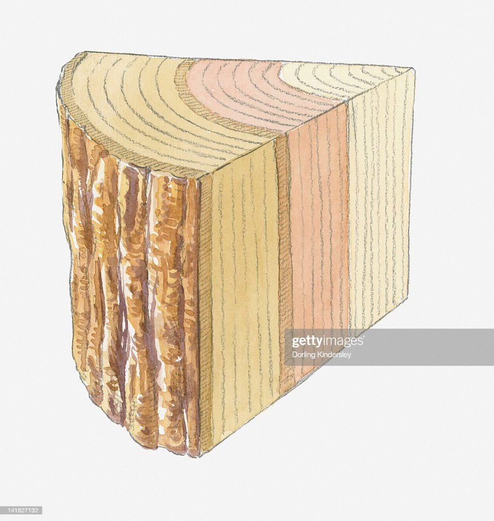 Cross section illustration of tree trunk showing rings : Stock Illustration