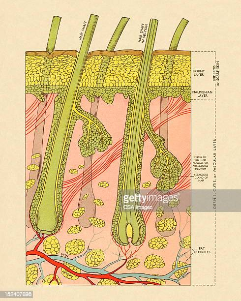 Cross Section of Skin With Hair Follicles