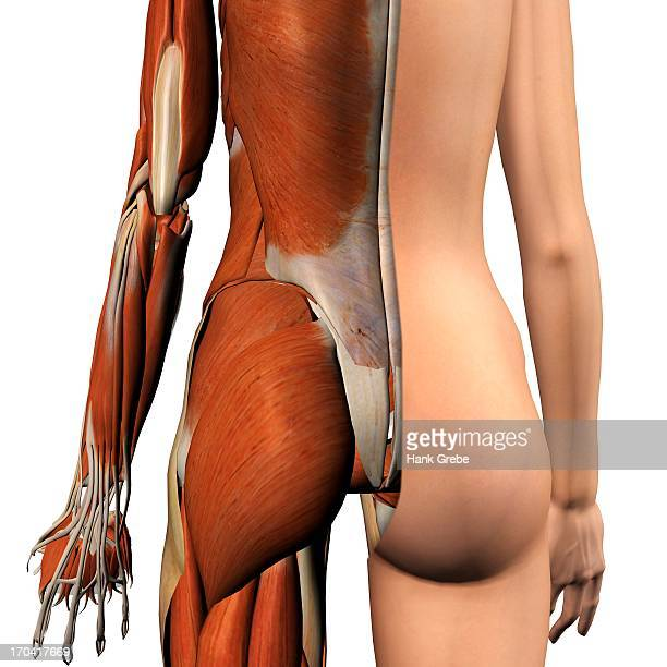 Cross-section anatomy of female buttocks and back muscles