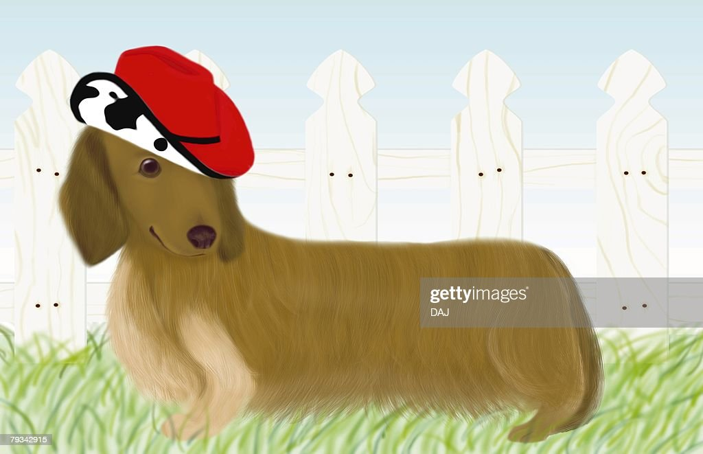 Dachshund wearing a hat in garden, side view : Stock Illustration