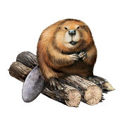 Young beaver sitting on a logs. Illustartion isolated on white