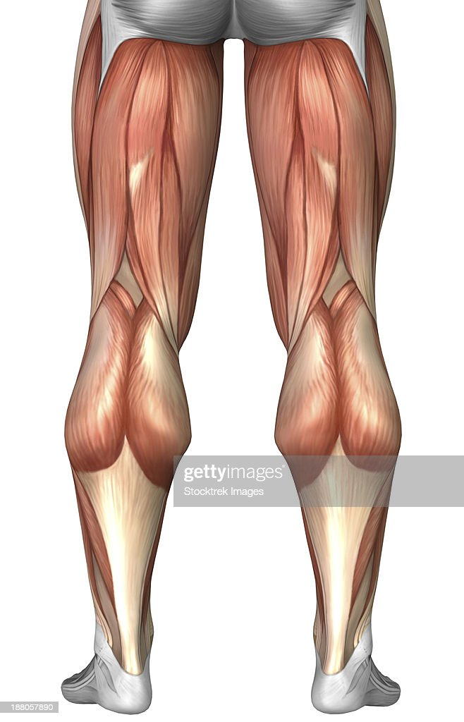 Human muscle groups diagram tenderness diagram illustrating muscle groups on back of human legs stock muscles ccuart Image collections