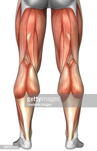 Human Knee Muscle Craftbrewswagfo