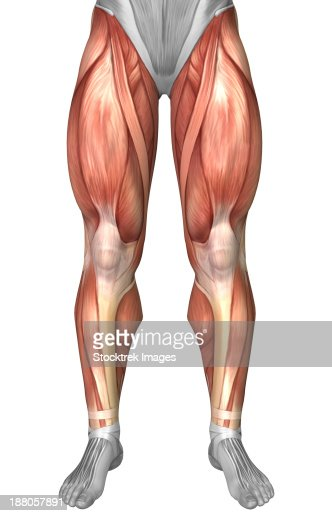 diagram illustrating muscle groups on front of human legs stock, Muscles