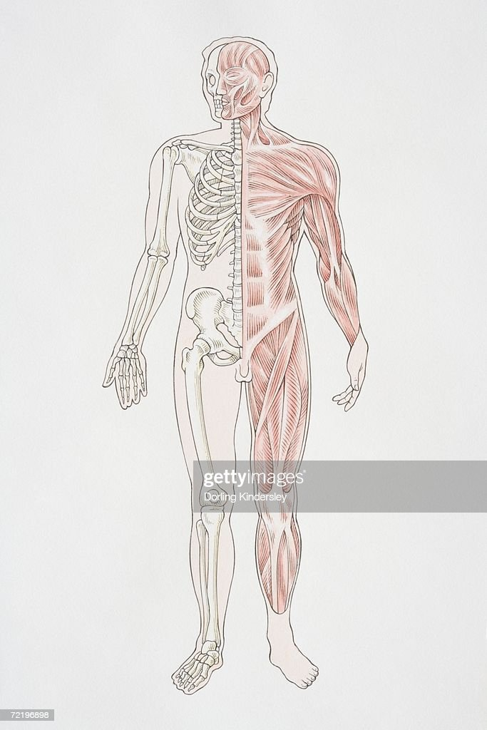 Musculoskeletal System Diagram | tenderness.co