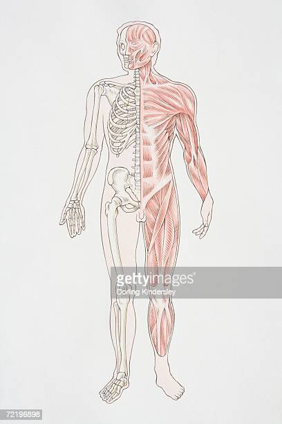 diagram illustrating lower arm muscle groups nerves and veins, Muscles
