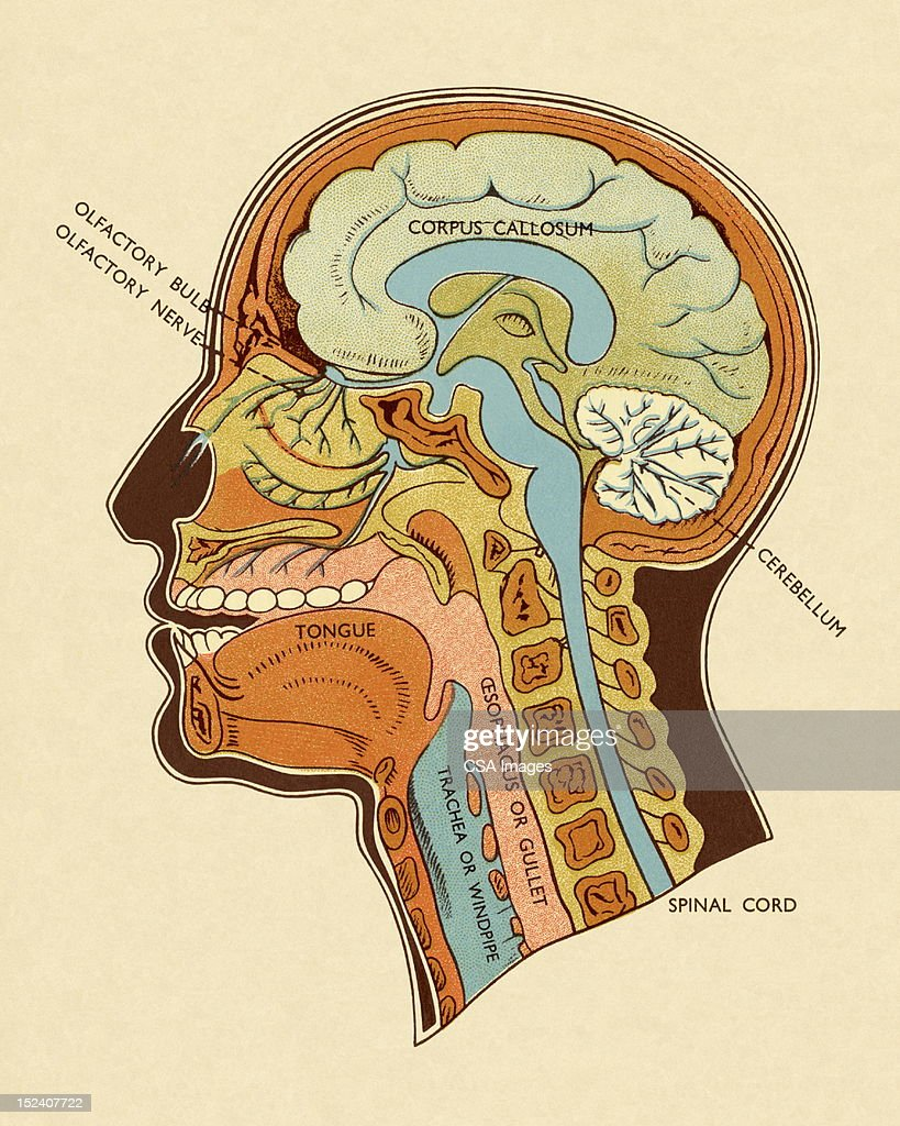 Diagram Of Head And Neck Stock Illustration