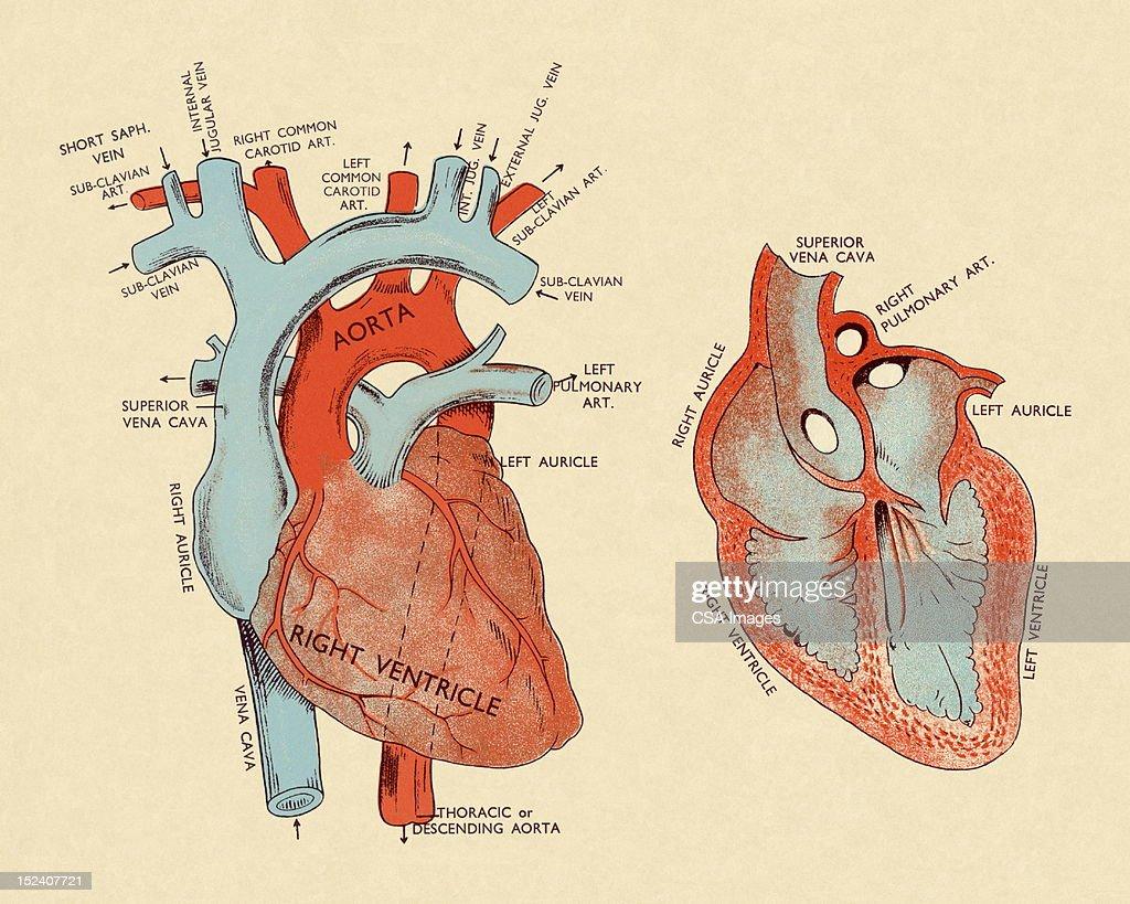 Diagram of Heart : Stock Illustration