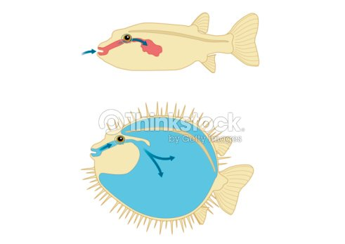 Digital Cross Section Illustration Of Porcupine Fish And Puffer Fish ...