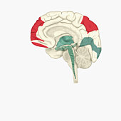 Digital illustration of areas of activity during REM sleep in human brain highlighted in red and green