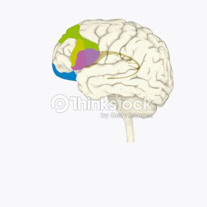 Digital Illustration Of Dorsolateral Prefrontal Cortex Inferior ...