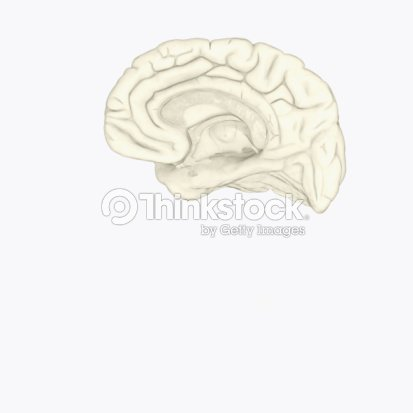 Digital Illustration Of Human Brain Showing Corpus Collosum And ...