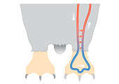 Digital illustration of penguin circulation showing countercurrent mechanism of warm blood flowing f