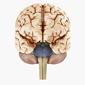 Digital illustration of showing front view of human brain