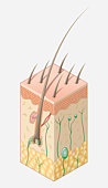 Digital illustration of structure of human skin