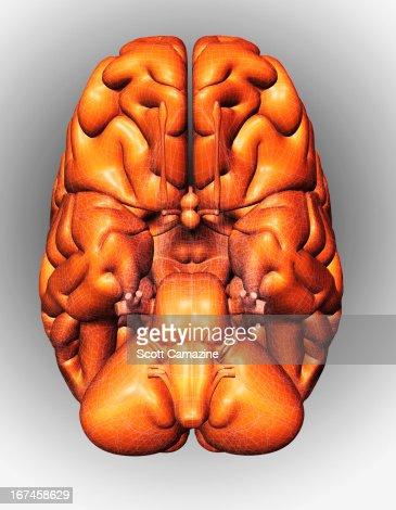 Digitally generated image of brain : Stock Illustration
