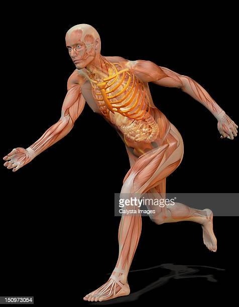 Digitally generated image of running human representation with inner human muscle visible
