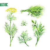 Watercolor illustration of fresh dill plant with flowers, leaves, twigs and bunch on white background