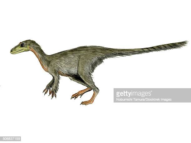 Dilong paradoxus dinosaur, white background.
