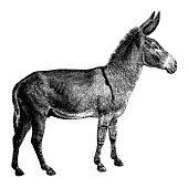 Old engraving of a donkey, isolated on white. Scanned at 600 DPI with very high resolution. Published in Systematischer Bilder-Atlas zum Conversations-Lexikon, Ikonographische Encyklopaedie der Wissen