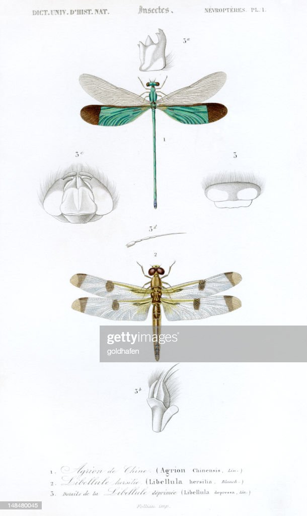 dragonflys,historic scientific illustration, 1849 : Stock Photo
