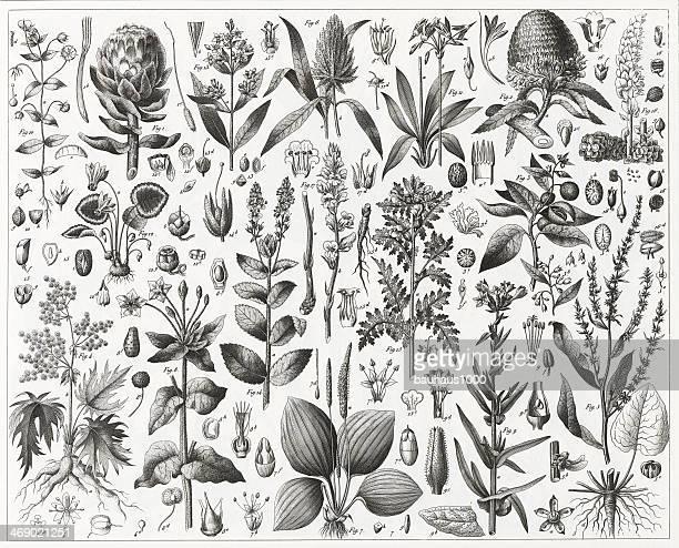 Edible and Medicinal Plants Engraving