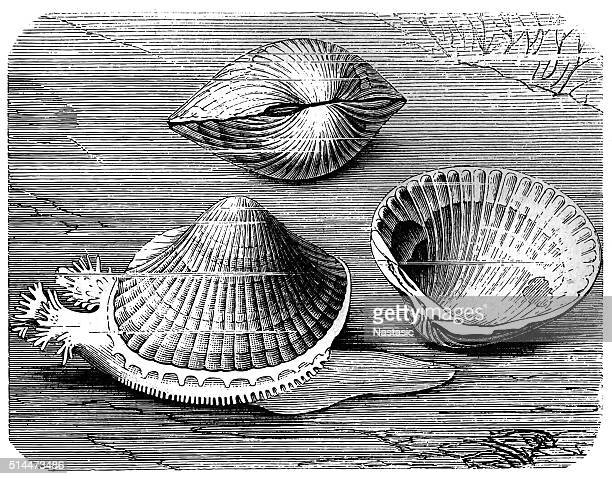 Edible cockle (Cardium edule)
