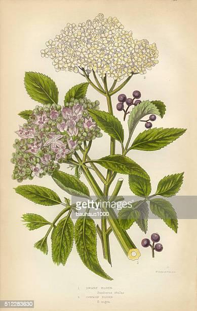 Elderberry, Elder, Berry, Victorian Botanical Illustration