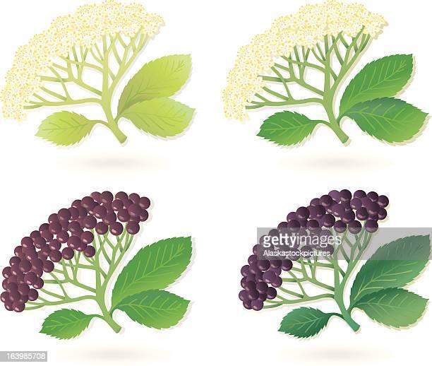 Elderberry Flowers and Fruits (4 varios).