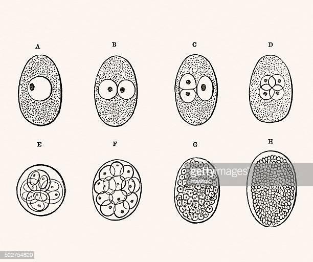 Embryon développement 19 siècle Medical illustration