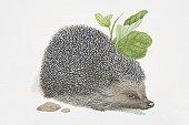 Erinaceus europaeus, European Hedgehog.