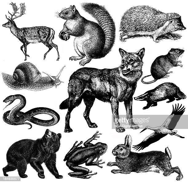La faune sauvage européen Illustrations et Clipart Vintage Animal