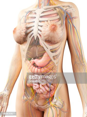female anatomy artwork stock illustration | getty images, Human Body