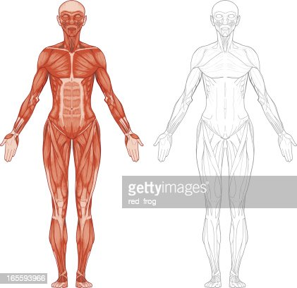 female body muscles vector art | getty images, Muscles