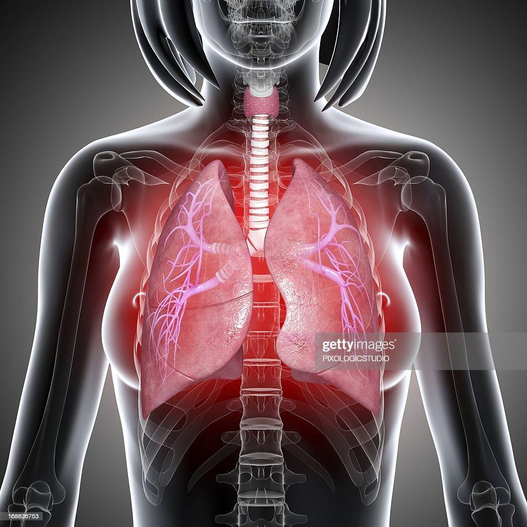 Female lungs, artwork : Stock Illustration